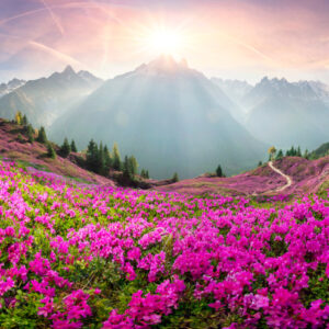 Mt Blanc with sun rising and field of magenta colored flowers